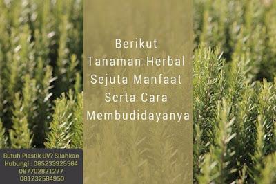 Rosemary yaitu flora herbal untuk kuliner yang paling terkenal di Eropa dan umumnya di Manfaat Plastik UV - Berikut Tanaman Herbal Sejuta Manfaat Serta Cara Membudidayanya