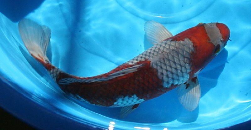 Jenis-Jenis Ikan Koi Ochiba Shigure