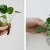 You Should Have This in Your Home: Plant That Brings Health and Money in Your House!