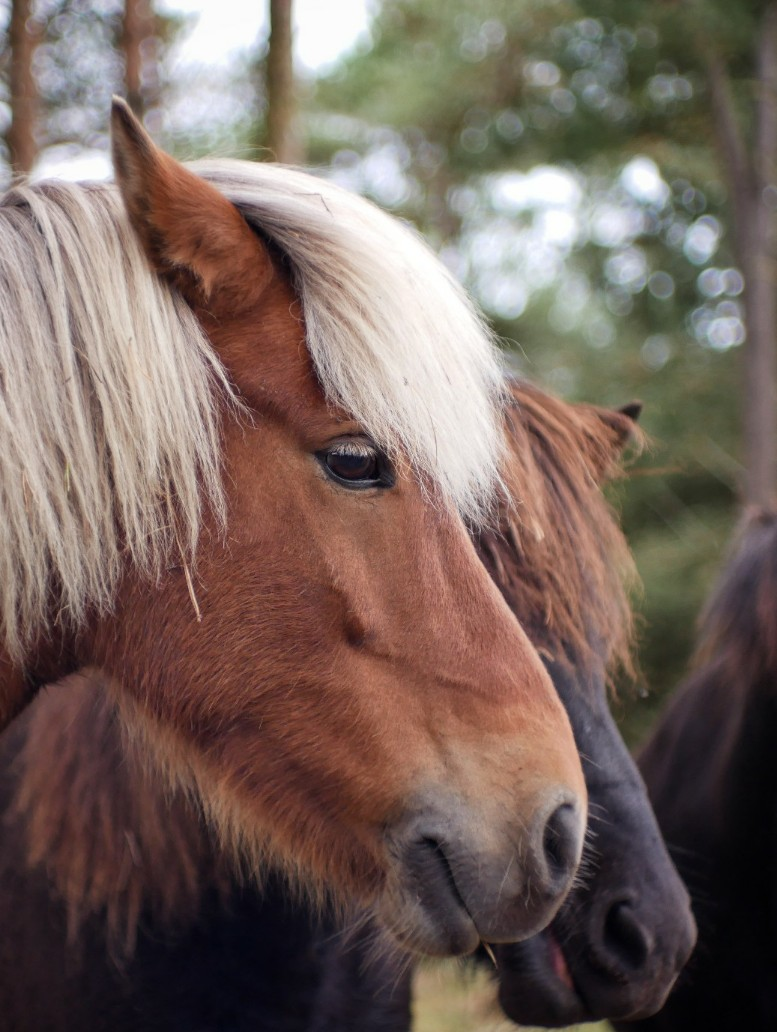 Pferde läsö