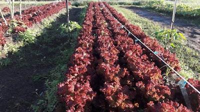 Nova colheita da horta municipal segue para reforçar kits de alimentos destinados às famílias em situação de vulnerabilidade social