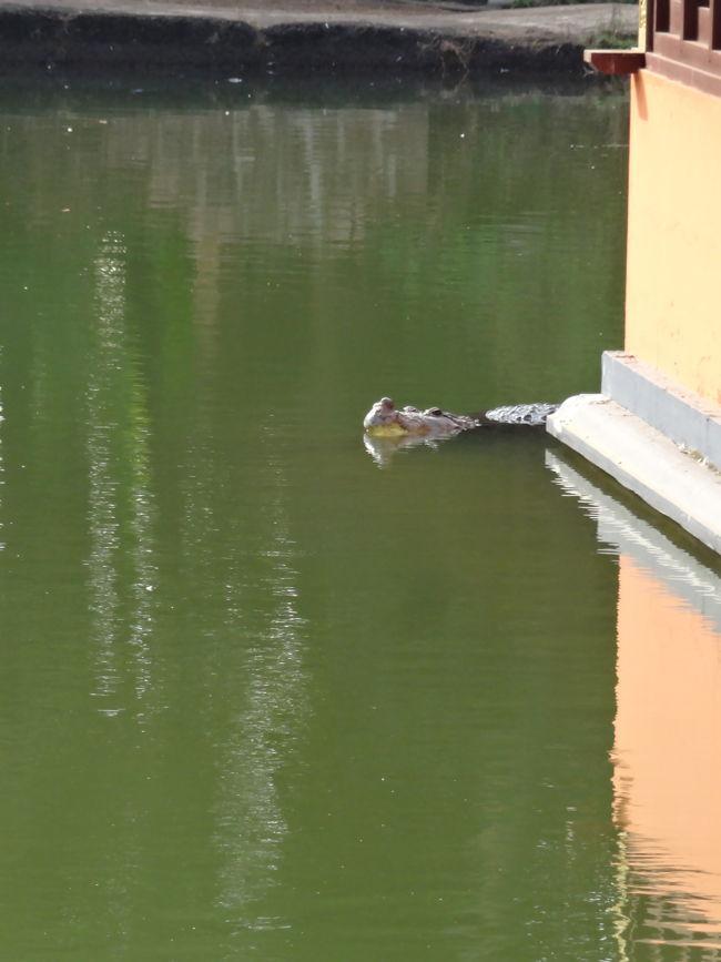 Crocodile Babia In Ananthapura Lake Temple