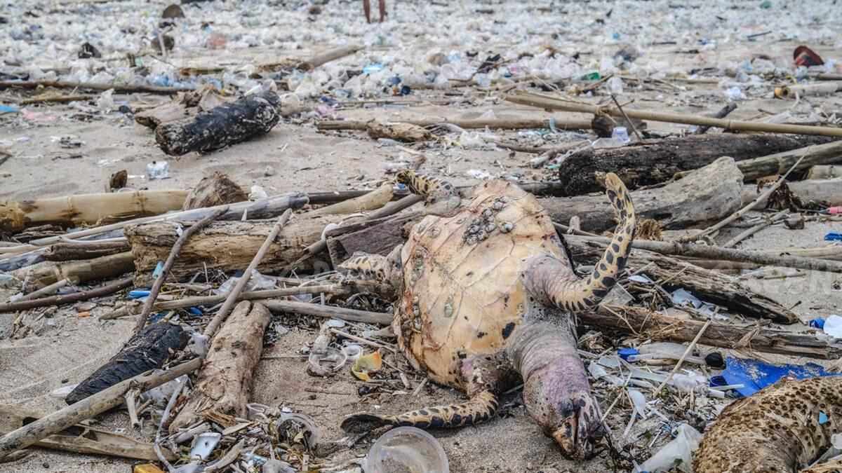 sampah dan bangkai penyu di pantai Kuta