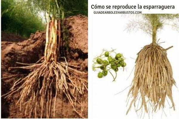 La reproducción de la esparraguera es por medio de la raíz que se planta a buena profundidad
