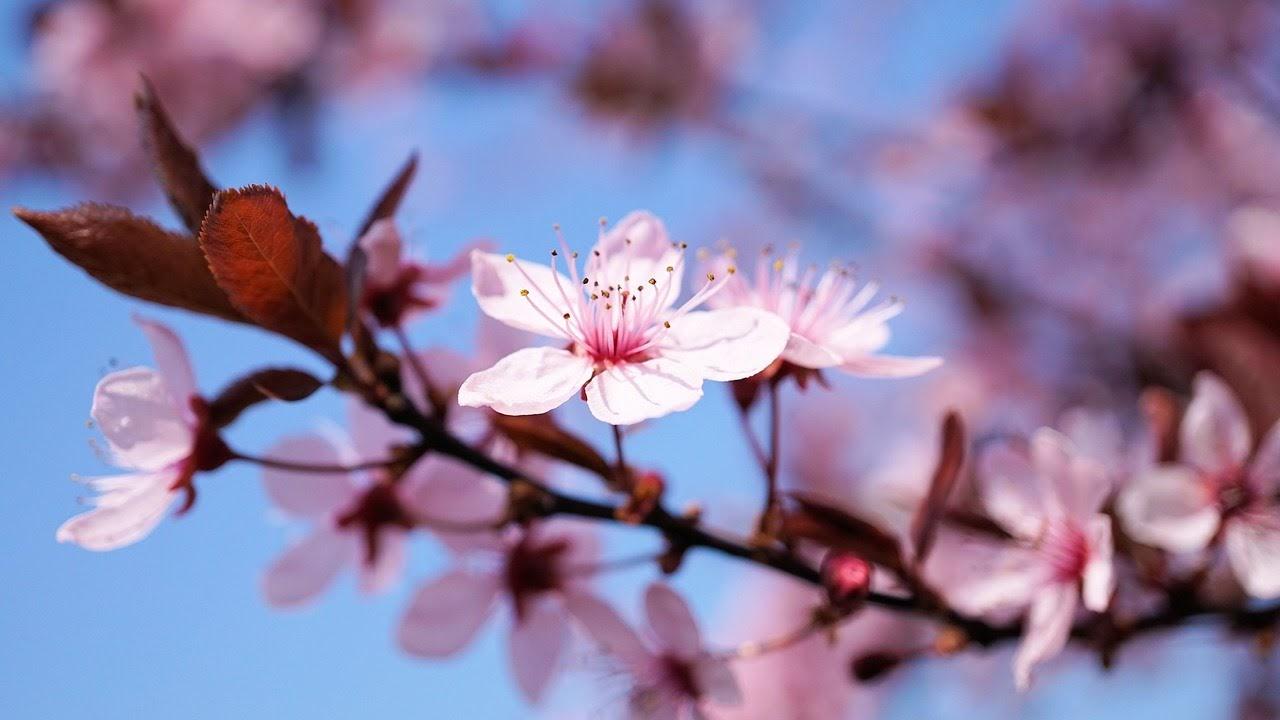 صورة زهرة متفتحة وردية اللون - اجمل واحلى صور الطبيعة الجميلة والخلابة في العالم