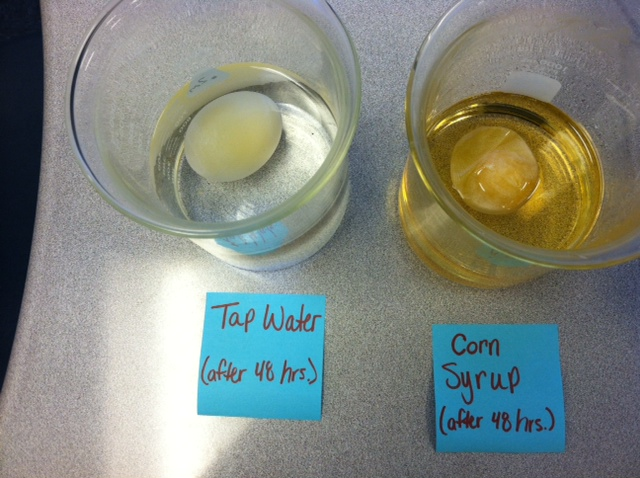 The Science Scoop: Egg Osmosis