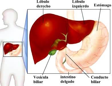 Hígado, vesícula biliar y conducto biliar: partes y funciones