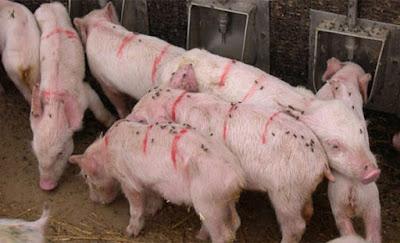 Ảnh 1: những tiêu chuẩn an toàn sinh học cũ không còn khả năng bảo vệ trang trại trước PEDV được nữa
