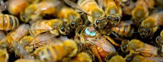 Populasi Lebah Menurun Drastis, Perlindungan Perlu Dimaksimalkan
