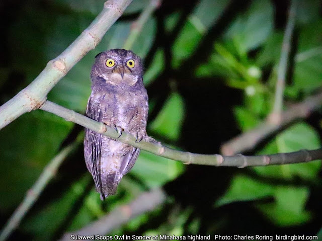 Sulawesi Scops Owl (Otus manadensis) in the outskirt of Sonder town of Minahasa regency