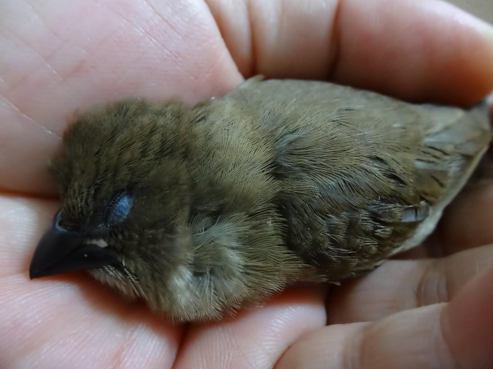 【幼鳥·文鳥】文鳥幼鳥 – TouPeenSeen部落格