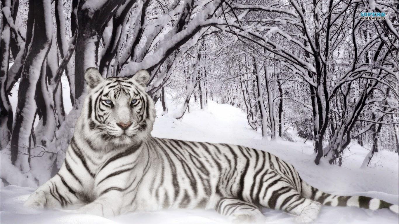 Gambar Harimau Putih Yang Sangar