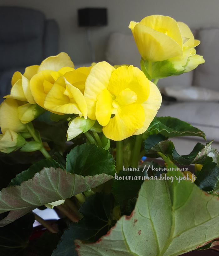 ruusubegonia keltainen arvontamuistutus lapsimessut 2017