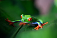A green and orange frog on a green leaf. On the Arenal volcano in Costa Rica. Photo by Trevor Cole on Unsplash.