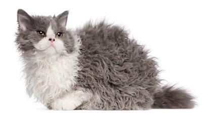 Jenis Ras Kucing Lambkin
