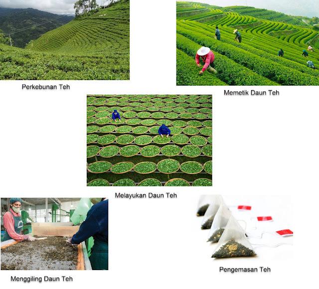 Pernahkah kamu minum teh? Di manakah teh ditanam? Pekerjaan apa saja yang ada di kebun teh?