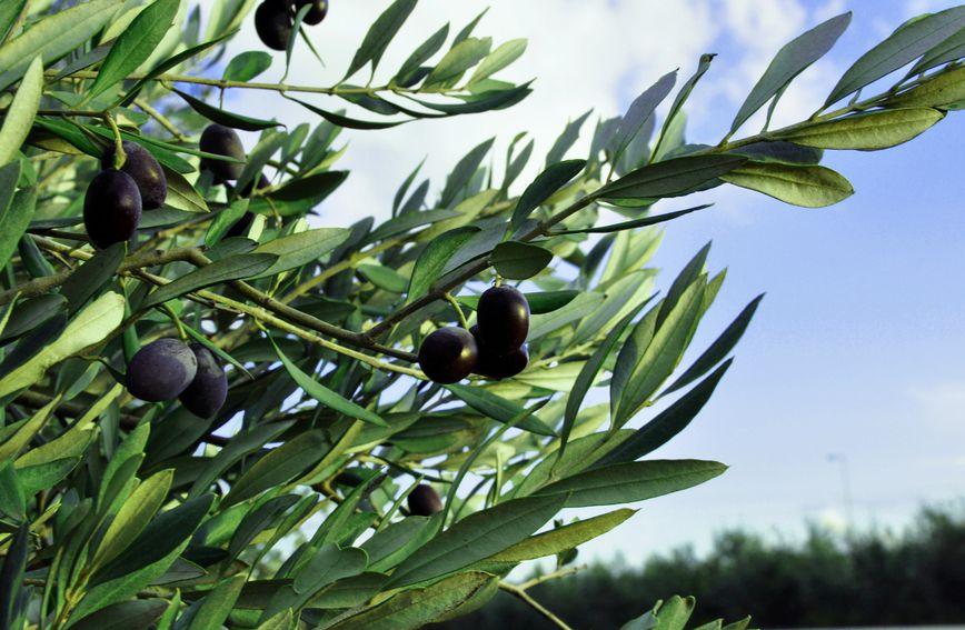 zdravlje-prirodno_liječenje-masline-maslinovo_lisce-lijek_iz_prirode-list_masline