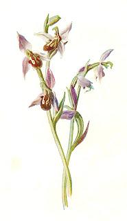 https://1.bp.blogspot.com/-VE7lpjw4_Ds/V2mDDRRqThI/AAAAAAAAcYw/VkJSXTCXnEwS1OMYWor7jNJVgUBumgnDwCLcB/s320/bee-orchid-wildflower-image.jpg