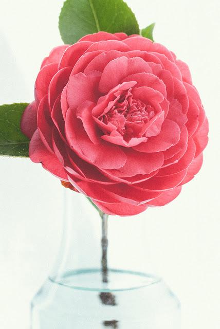 وردة جميلة خلفية للموبايل