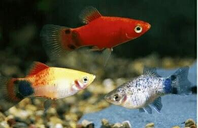 ikan hias kecil murah
