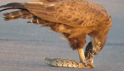 Ular berbisa dimakan elang hidup-hidup