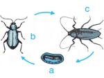 Metamorfosis Tidak Sempurna Pada Belalang, Kecoa Dan Capung
