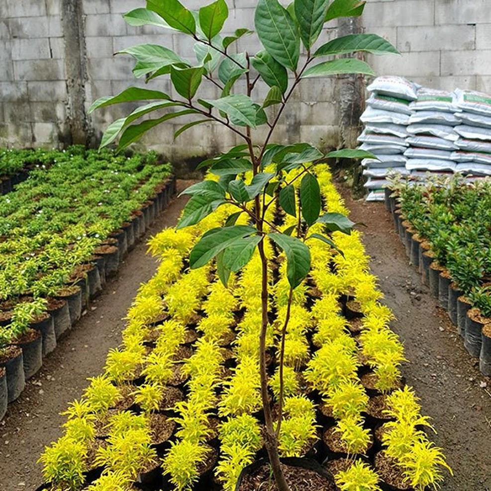 Bibit Pohon Rambutan Binjai Rapiah Tangerang Selatan