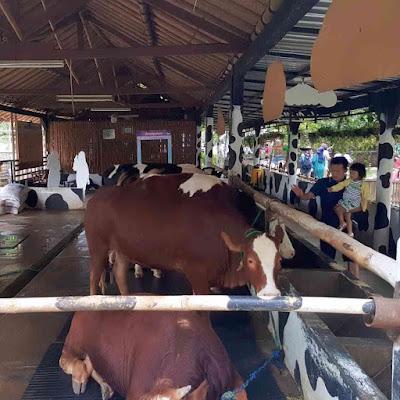 Spot Kandang Hewan Sapi