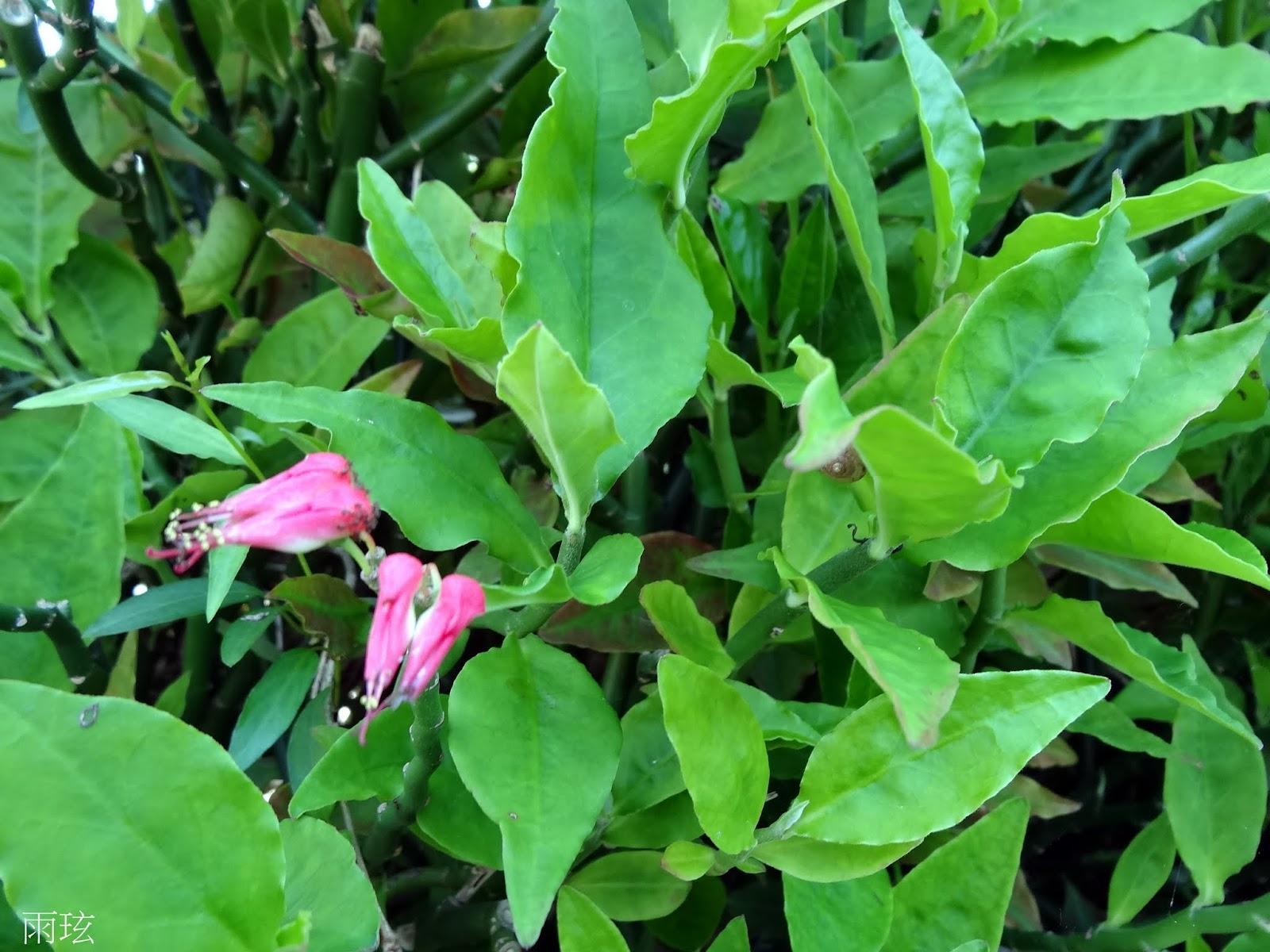 雨玹: 紅雀珊瑚/Redbird cactus