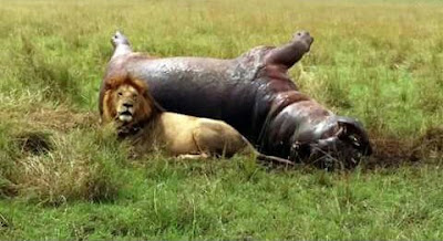 hippo killed by lion