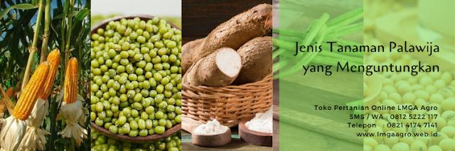 palawija,budidaya tanaman,pertanian,jagung,kacang hijau,lmga agro