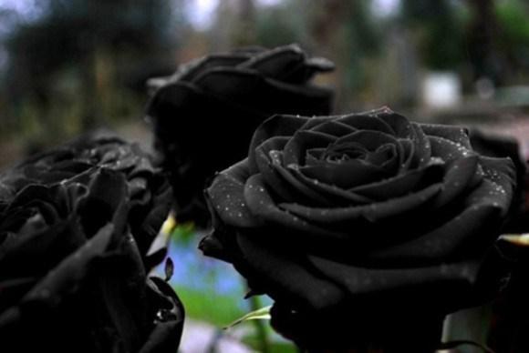 Ove rijetke crne ruže mogu se naći samo u Turskoj