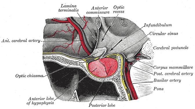 حقائق عن الغده النخاميه pituitary gland