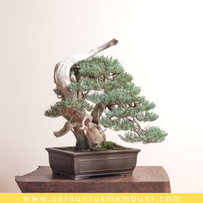 Bonsai Juniperus Occidentalis (Sierra) 8