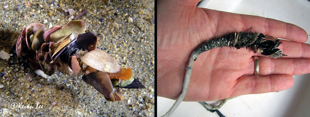 Left: Shell-covered tube worm protruding from the sand. Right: Shell-covered tube worm removed from the sand.