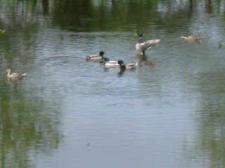 météo en correze canards hérons