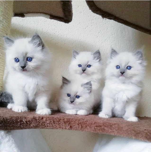 white cat pictures