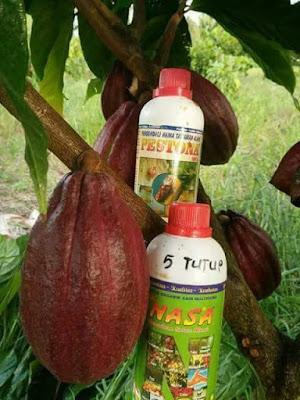 Bakal Bunga & Buah Kakao Makin Banyak