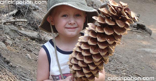 ciri ciri pohon pinus gula