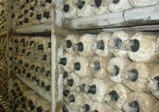 baglog jamur tiram