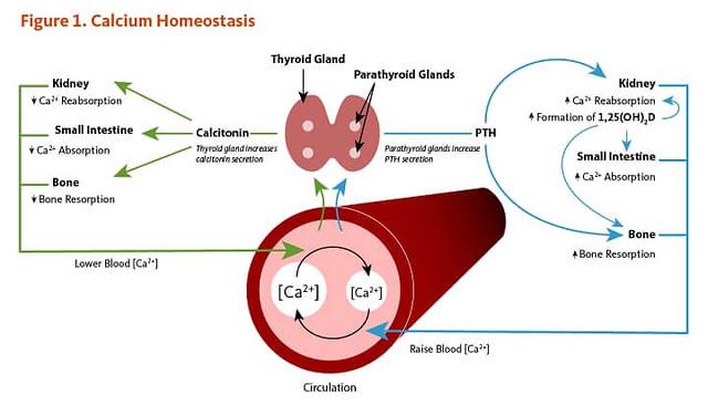 Hormonski mehanizam regulacije kalcijuma u telu