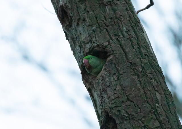 Alexandrine Parakeet - Amsterdamse Bos - Koenenbos