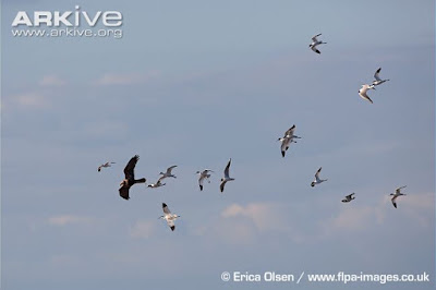 harrier and gulls