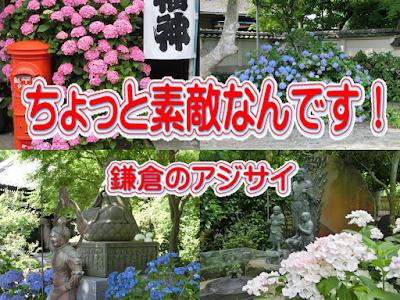 ちょっとすてきなんです!鎌倉のアジサイ
