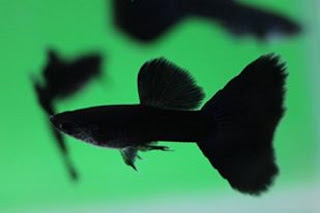 Jual Guppy Full Black,  Harga Guppy Full Black,  Toko Guppy Full Black,  Diskon Guppy Full Black,  Beli Guppy Full Black,  Review Guppy Full Black,  Promo Guppy Full Black,  Spesifikasi Guppy Full Black,  Guppy Full Black Murah,  Guppy Full Black Asli,  Guppy Full Black Original,  Guppy Full Black Jakarta,  Jenis Guppy Full Black,  Budidaya Guppy Full Black,  Peternak Guppy Full Black,  Cara Merawat Guppy Full Black,  Tips Merawat Guppy Full Black,  Bagaimana cara merawat Guppy Full Black,  Bagaimana mengobati Guppy Full Black,  Ciri-Ciri Hamil Guppy Full Black,  Kandang Guppy Full Black,  Ternak Guppy Full Black,  Makanan Guppy Full Black,  guppy breeding Guppy Full Black,  guppies for sale Guppy Full Black,  guppy care Guppy Full Black,  breeding guppies Guppy Full Black,  male guppies Guppy Full Black,  female guppies Guppy Full Black,  guppy aquarium Guppy Full Black,  baby guppies Guppy Full Black,  poecilia reticulata Guppy Full Black,  guppy tank Guppy Full Black,  guppy fry Guppy Full Black,  guppy giving birth Guppy Full Black,  how long do guppies live Guppy Full Black,  guppys Guppy Full Black,  guppy guppy Guppy Full Black,  guppy food Guppy Full Black,  guppy breeding tank Guppy Full Black,  fantail guppy Guppy Full Black,  guppy breeds Guppy Full Black,  guppy s Guppy Full Black,  wild guppies Guppy Full Black,  guppy babies Guppy Full Black,  guppy varieties Guppy Full Black,  freshwater guppies Guppy Full Black,  guppy female Guppy Full Black,  tropical guppies Guppy Full Black,  female guppies for sale Guppy Full Black,  guppy price Guppy Full Black,  raising guppies Guppy Full Black,  guppies for sale online Guppy Full Black,  guppy info Guppy Full Black,  buy guppies online Guppy Full Black,  guppy sale Guppy Full Black,  buy guppies Guppy Full Black,  guppy diseases Guppy Full Black,  guppies online Guppy Full Black,  caring for guppies Guppy Full Black,  best food for guppies Guppy Full Black,  food for guppies Guppy Full Black,  blue guppy Guppy Full Black,  guppy breeding setup Guppy Full Black,  guppy birth Guppy Full Black,  guppy species Guppy Full Black,  gestation period for guppies Guppy Full Black,  guppys online Guppy Full Black,  guppy care sheet Guppy Full Black,  guppy blue Guppy Full Black,  keeping guppies Guppy Full Black,  guppies for sale cheap Guppy Full Black,  the guppy Guppy Full Black,  guppy breeding cycle Guppy Full Black,  show guppies Guppy Full Black,  thai guppy Guppy Full Black,  male and female guppies Guppy Full Black,  what to feed baby guppies Guppy Full Black,  yellow guppy Guppy Full Black,  guppy names Guppy Full Black,  guppy gestation period Guppy Full Black,  feeding guppies Guppy Full Black,  guppy genetics Guppy Full Black,  guppy show Guppy Full Black,  turquoise guppy Guppy Full Black,  guppy fry care Guppy Full Black,  guppy games Guppy Full Black,  guppy gestation Guppy Full Black,  guppy colors Guppy Full Black,  guppy tank setup Guppy Full Black,  trinidadian guppies Guppy Full Black,  guppies having babies Guppy Full Black,  guppy strains Guppy Full Black,  what do guppies eat Guppy Full Black,  what to feed guppies Guppy Full Black,  guppy life span Guppy Full Black,  how to care for guppies Guppy Full Black,  guppy male and female Guppy Full Black,  what is a guppy Guppy Full Black,  guppy natural habitat Guppy Full Black,  german guppy Guppy Full Black,  guppy poecilia reticulata Guppy Full Black,  guppy images Guppy Full Black,  images of guppies Guppy Full Black,  fishguppy Guppy Full Black,  guppy facts Guppy Full Black,  how many babies do guppies have Guppy Full Black,  how big do guppies get Guppy Full Black,  how to take care of guppies Guppy Full Black,  fan tailed guppies Guppy Full Black,  guppy pregnant Guppy Full Black,  guppy life cycle Guppy Full Black,  temperature for guppies Guppy Full Black,  what are guppies Guppy Full Black,  guppies restaurant Guppy Full Black,  guppy definition Guppy Full Black,  guppy meaning Guppy Full Black,  guppy size Guppy Full Black,  define guppy Guppy Full Black,  guppy wiki Guppy Full Black,  how do guppies give birth Guppy Full Black,  baby guppys Guppy Full Black,  guppies bar Guppy Full Black,  how many fry do guppies have Guppy Full Black,  guppy behavior Guppy Full Black,  how many babies does a guppy have Guppy Full Black,  where do guppies come from Guppy Full Black,  how do guppies reproduce Guppy Full Black,  what does guppy mean Guppy Full Black,  what is guppy Guppy Full Black,  types of guppy Guppy Full Black,  guppy guppies Guppy Full Black,  guppy house hours Guppy Full Black,  guppys on the go Guppy Full Black,  guppys restaurant Guppy Full Black,  guppies definition Guppy Full Black,  do guppies eat their babies Guppy Full Black,  gestation guppy Guppy Full Black,  bubble guppies Guppy Full Black,  guppy Guppy Full Black,  Guppy Full Black Jakarta,  Guppy Full Black Bandung,  Guppy Full Black Medan,  Guppy Full Black Bali,  Guppy Full Black Makassar,  Guppy Full Black Jambi,  Guppy Full Black Pekanbaru,  Guppy Full Black Palembang,  Guppy Full Black Sumatera,  Guppy Full Black Langsa,  Guppy Full Black Lhokseumawe,  Guppy Full Black Meulaboh,  Guppy Full Black Sabang,  Guppy Full Black Subulussalam,  Guppy Full Black Denpasar,  Guppy Full Black Pangkalpinang,  Guppy Full Black Cilegon,  Guppy Full Black Serang,  Guppy Full Black Tangerang Selatan,  Guppy Full Black Tangerang,  Guppy Full Black Bengkulu,  Guppy Full Black Gorontalo,  Guppy Full Black Kota Administrasi Jakarta Barat,  Guppy Full Black Kota Administrasi Jakarta Pusat,  Guppy Full Black Kota Administrasi Jakarta Selatan,  Guppy Full Black Kota Administrasi Jakarta Timur,  Guppy Full Black Kota Administrasi Jakarta Utara,  Guppy Full Black Sungai Penuh,  Guppy Full Black Jambi,  Guppy Full Black Bandung,  Guppy Full Black Bekasi,  Guppy Full Black Bogor,  Guppy Full Black Cimahi,  Guppy Full Black Cirebon,  Guppy Full Black Depok,  Guppy Full Black Sukabumi,  Guppy Full Black Tasikmalaya,  Guppy Full Black Banjar,  Guppy Full Black Magelang,  Guppy Full Black Pekalongan,  Guppy Full Black Purwokerto,  Guppy Full Black Salatiga,  Guppy Full Black Semarang,  Guppy Full Black Surakarta,  Guppy Full Black Tegal,  Guppy Full Black Batu,  Guppy Full Black Blitar,  Guppy Full Black Kediri,  Guppy Full Black Madiun,  Guppy Full Black Malang,  Guppy Full Black Mojokerto,  Guppy Full Black Pasuruan,  Guppy Full Black Probolinggo,  Guppy Full Black Surabaya,  Guppy Full Black Pontianak,  Guppy Full Black Singkawang,  Guppy Full Black Banjarbaru,  Guppy Full Black Banjarmasin,  Guppy Full Black Palangkaraya,  Guppy Full Black Balikpapan,  Guppy Full Black Bontang,  Guppy Full Black Samarinda,  Guppy Full Black Tarakan,  Guppy Full Black Batam,  Guppy Full Black Tanjungpinang,  Guppy Full Black Bandar Lampung,  Guppy Full Black Kotabumi,  Guppy Full Black Liwa,  Guppy Full Black Metro,  Guppy Full Black Ternate,  Guppy Full Black Tidore Kepulauan,  Guppy Full Black Ambon,  Guppy Full Black Tual,  Guppy Full Black Bima,  Guppy Full Black Mataram,  Guppy Full Black Kupang,  Guppy Full Black Sorong,  Guppy Full Black Jayapura,  Guppy Full Black Dumai,  Guppy Full Black Pekanbaru,  Guppy Full Black Makassar,  Guppy Full Black Palopo,  Guppy Full Black Parepare,  Guppy Full Black Palu,  Guppy Full Black Bau-Bau,  Guppy Full Black Kendari,  Guppy Full Black Bitung,  Guppy Full Black Kotamobagu,  Guppy Full Black Manado,  Guppy Full Black Tomohon,  Guppy Full Black Bukittinggi,  Guppy Full Black Padang,  Guppy Full Black Padangpanjang,  Guppy Full Black Pariaman,  Guppy Full Black Payakumbuh,  Guppy Full Black Sawahlunto,  Guppy Full Black Solok,  Guppy Full Black Lubuklinggau,  Guppy Full Black Pagaralam,  Guppy Full Black Palembang,  Guppy Full Black Prabumulih,  Guppy Full Black Binjai,  Guppy Full Black Medan,  Guppy Full Black Padang Sidempuan,  Guppy Full Black Pematangsiantar,  Guppy Full Black Sibolga,  Guppy Full Black Tanjungbalai,  Guppy Full Black Tebingtinggi,  Guppy Full Black Yogyakarta,