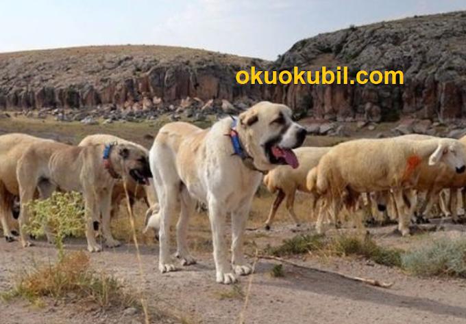 Çin'in koyunları Aksaray Malaklısına Emanet.