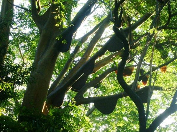 bebarapa sarang koloni lebah madu tualang di pokok tualang