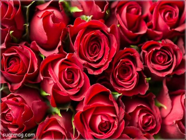 ورد احمر طبيعي 21 | Natural red roses 21