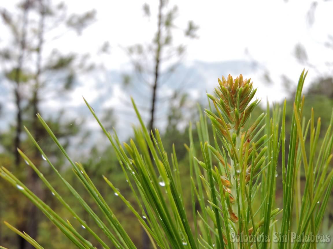 hojas de pino de la montaña quitasol
