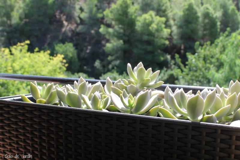 Suculentas en jardineras de ventana - Guia de jardin